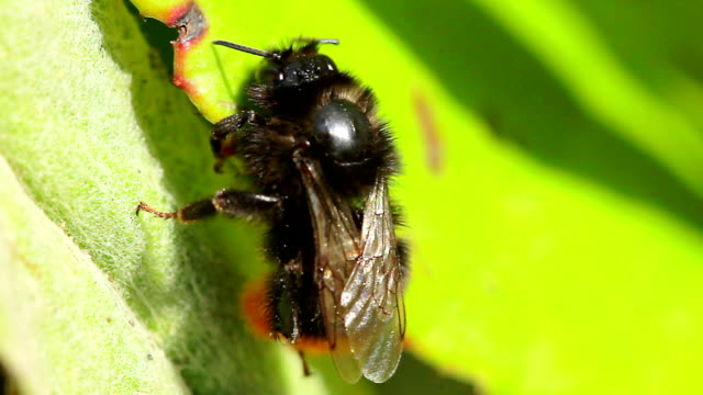 carpenter bee - pollen grain stock videos & royalty-free footage