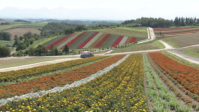 carpet of flowers in the town of biei - biei town stock videos & royalty-free footage