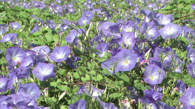 A carpet of morning glories blooms in a meadow.
