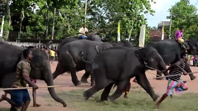 carreras de animales el lunes para celebrar el ano nuevo en sri lanka una fecha que comparten la etnia cingalesa y la tamil voiced sri lanka ano... - etnia stock videos and b-roll footage