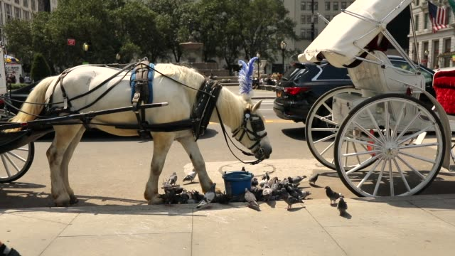 A carriage horse eats by Central Park moments before all drivers were ordered to return to the stables due to heat on August 10 2018 in New York City...