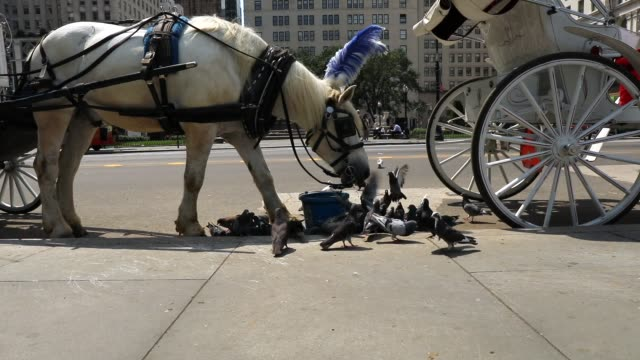 carriage horse eats by central park moments before all drivers were ordered to return to the stables due to heat on august 10, 2018 in new york city.... - working animal stock videos & royalty-free footage