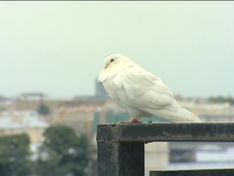 carrier pigeons. - attic stock videos and b-roll footage
