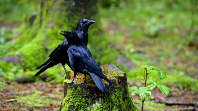 carrion crow, corvus corone, in forest - pinaceae stock videos & royalty-free footage