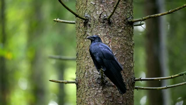 carrion crow, corvus corone, in forest - raven stock videos & royalty-free footage