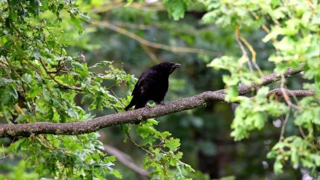 carrion crow, corvus corone, sitting in the tree and calling - perching stock videos & royalty-free footage