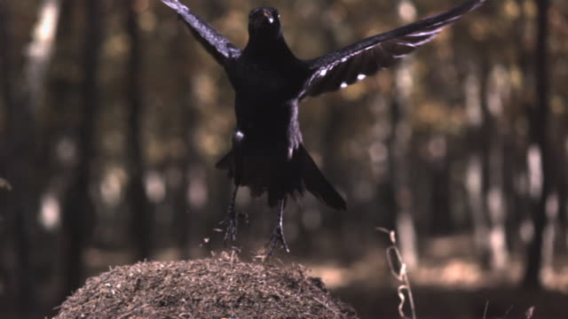 slomo carrion crow takes off from wood ant ant hill, spain - crow stock videos & royalty-free footage