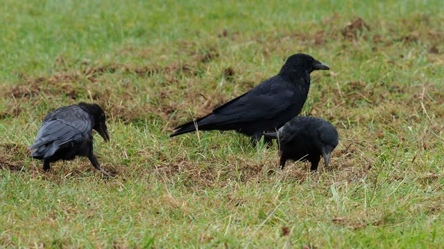 carrion crows feeding in a field in ambleside, uk. - small group of animals stock videos & royalty-free footage