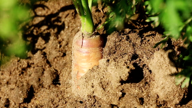 carrot close up - root vegetable stock videos and b-roll footage