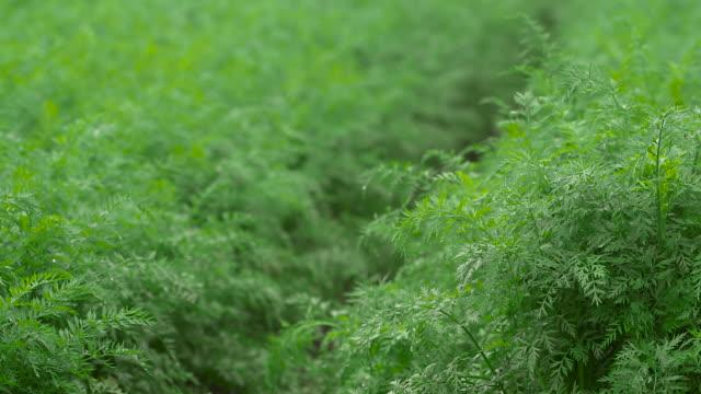 vídeos y material grabado en eventos de stock de carrot crop growing in field, uk - zanahoria