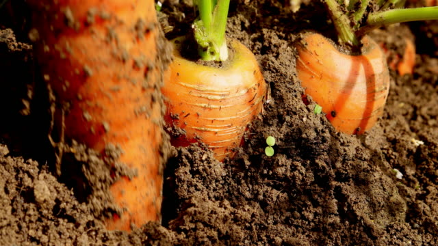 carrot - land stock videos & royalty-free footage