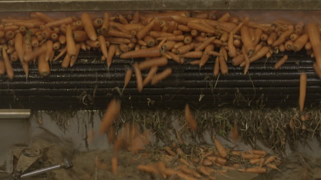 vídeos de stock e filmes b-roll de carrots are tipped from rollers into flowing water at a processing plant, uk. - cenoura
