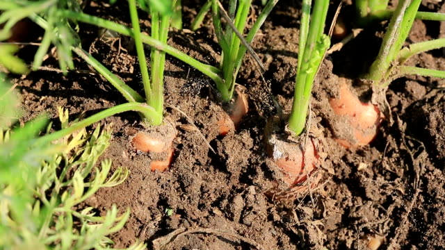 carrots close up - carrot stock videos and b-roll footage