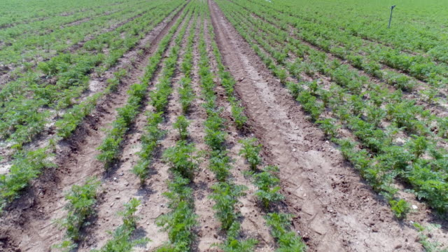 carrots growing in field - carrot stock videos & royalty-free footage