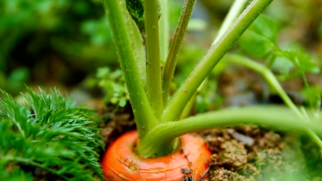 carrots in field - land stock videos & royalty-free footage