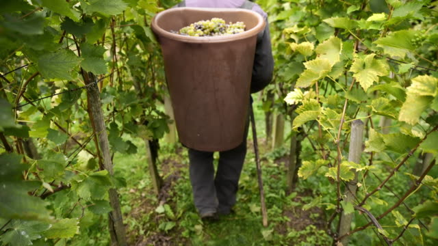 Carrying a bucket full of grapes