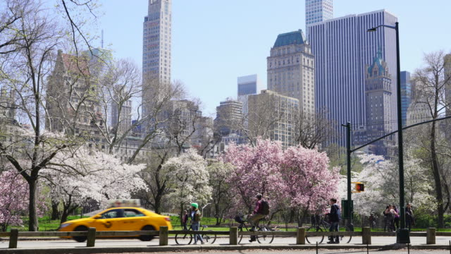 cars, bikes, horse carriage and people go through on the park road beside the rows of cherry blossoms trees at central park new york usa on apr. 23 2018. - carriage stock videos & royalty-free footage