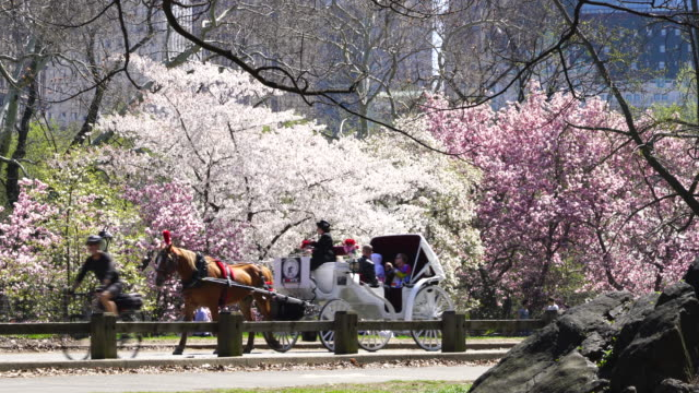 Cars, bikes, horse carriage and people go through on the park road beside the rows of Cherry blossoms trees at Central Park New York USA on Apr. 23 2018.