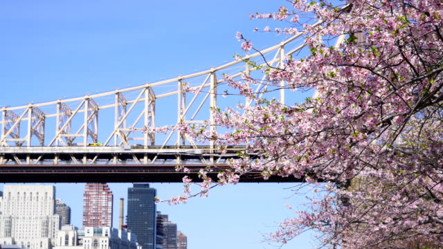 Cars run on the Queensboro Bridge behind Cherry blossoms from Roosevelt Island New York on 2017.