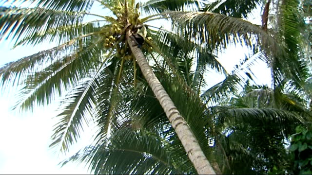 stockvideo's en b-roll-footage met piul island man climbs cocunt tree in bare feet and throws down coconuts then descends to applause - bare tree