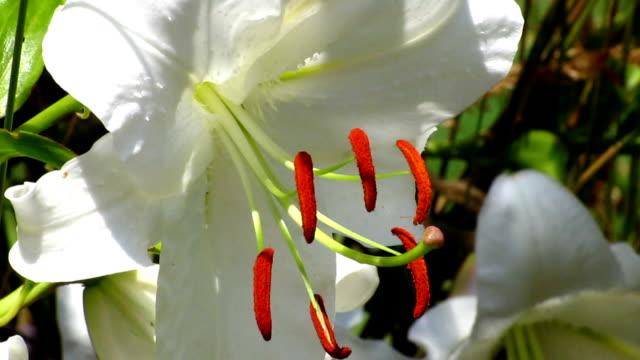 stockvideo's en b-roll-footage met casa blanca lily - waterplant