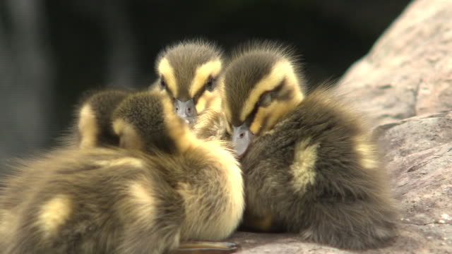 cascade and eastern spot-billed duck babies, shizuoka, japan - duck stock videos & royalty-free footage