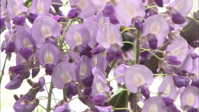 cascading wisteria flowers on trellis - pollen grain stock videos & royalty-free footage