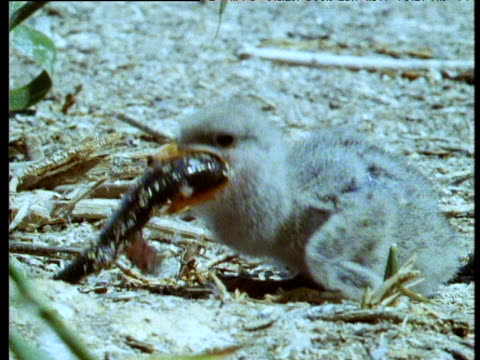 caspian tern chick struggles to swallow large fish then gets knocked over by another tern, djemchusny island - young bird stock videos & royalty-free footage