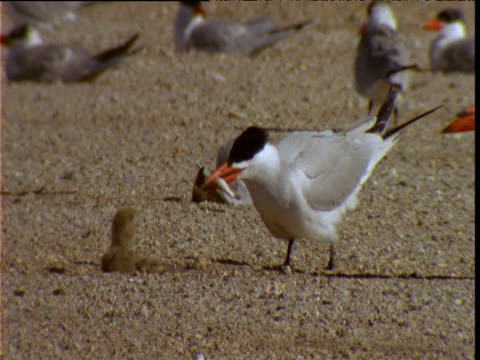 caspian tern feeds fish to chick, lake eyre, south australia - maul stock-videos und b-roll-filmmaterial