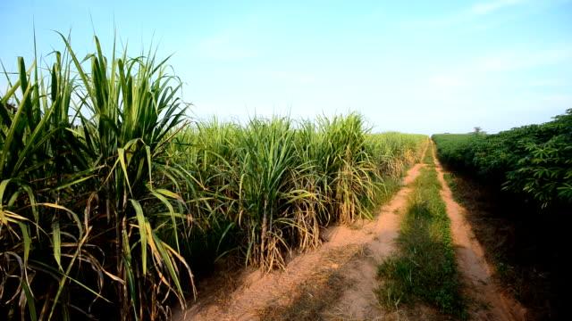 Cassava and sugarcane field