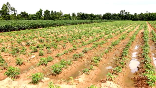 Cassava field