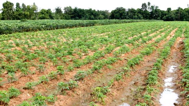 cassava field - monoculture stock videos & royalty-free footage