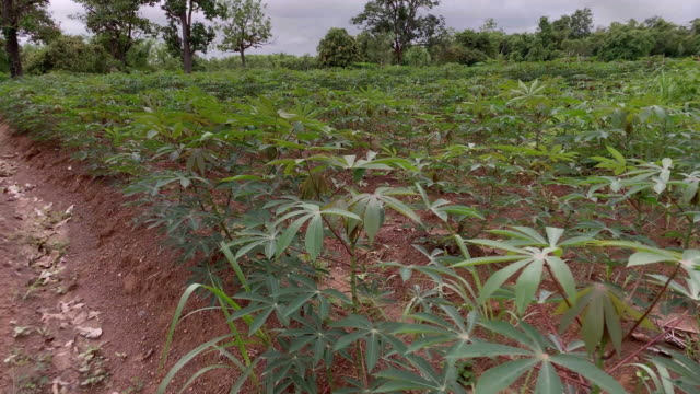 80 Top Cassava Video Clips & Footage - Getty Images