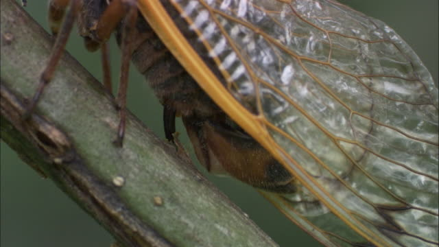 cassin's periodic cicada lays eggs into tree branch, indiana, usa - animal wing stock videos & royalty-free footage