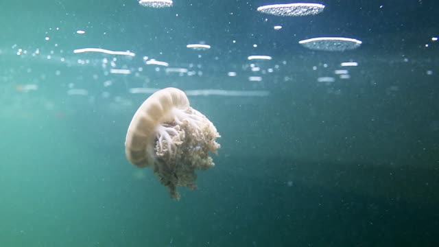 Cassiopeia jellyfish swimming in mangrove