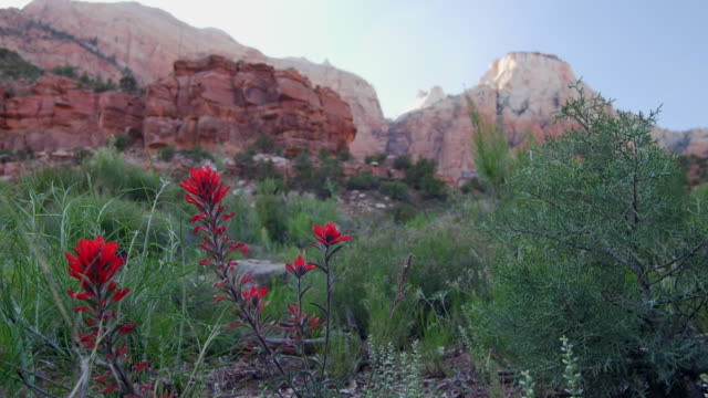 castilleja flower desert - 不在点の映像素材/bロール
