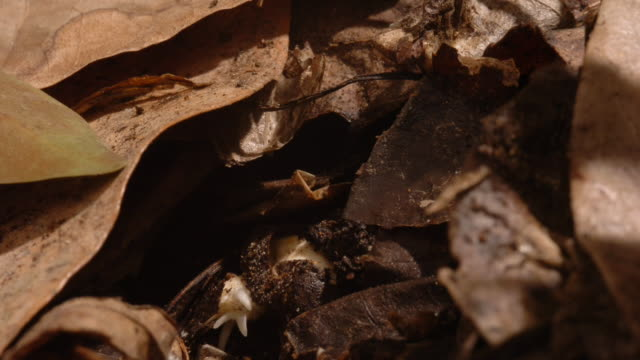 a castor oil seedling sprouts in leaf litter. available in hd. - seedling stock videos & royalty-free footage