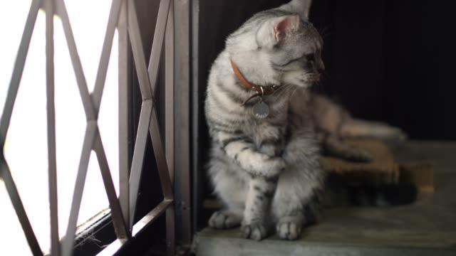 American Kurzhaar Katze betrachten Sie Kamera und leckte ein Spot, Slow-motion