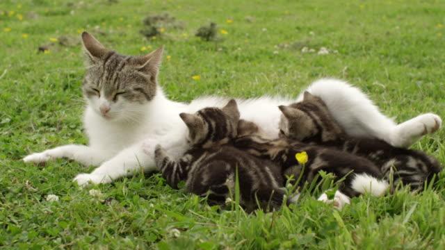 vídeos y material grabado en eventos de stock de ms cat and kittens / clara, ireland, ireland - mamar
