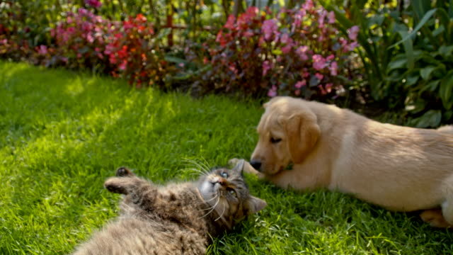 ms la cat and puppy lying together - grass stock videos & royalty-free footage