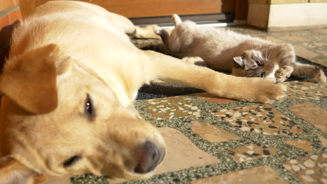 ms cat and puppy lying together - dog and cat stock videos and b-roll footage
