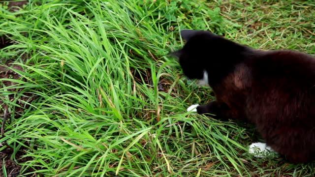 vidéos et rushes de attraper le chat avec la souris dans l'herbe - un seul animal