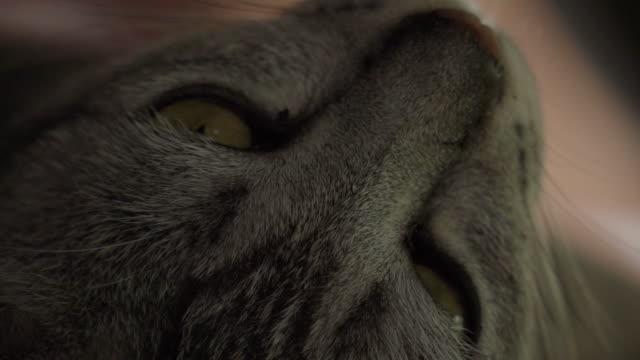 cat closing eye slow motion - grey eyes stock videos & royalty-free footage