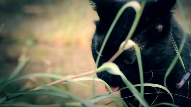 猫の草を食べる - ショートヘア種の猫点の映像素材/bロール