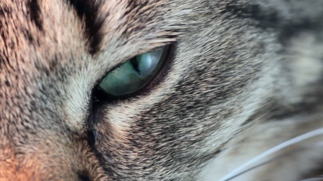 stockvideo's en b-roll-footage met cat eye - animal hair
