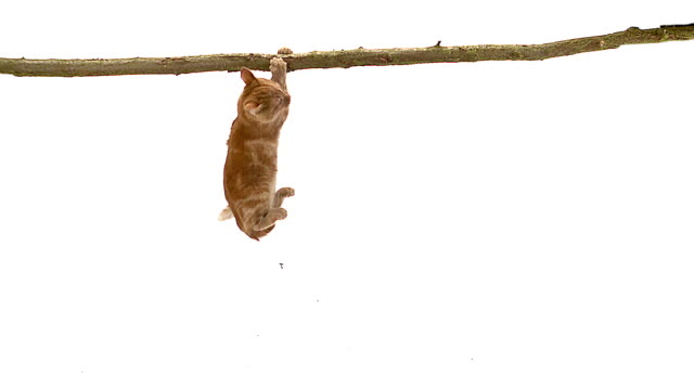 MS SLO MO Cat falling from branch against white background / Vieux Pont, Normandy, France