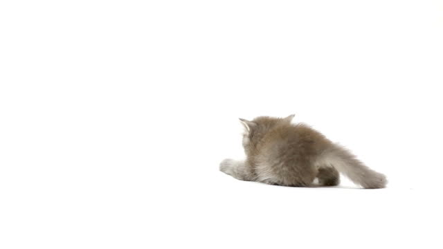 cat fight - white background stock videos & royalty-free footage