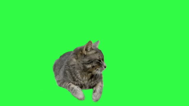 stockvideo's en b-roll-footage met cat green screen - dierenhaar