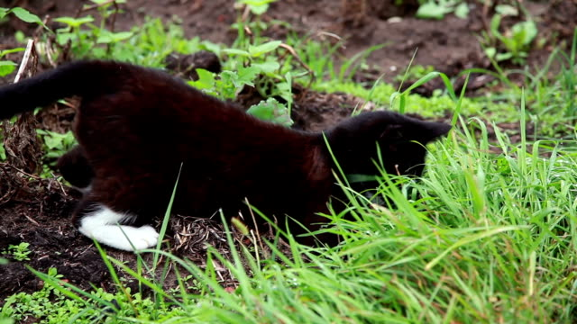 cat hunting a mouse in the grass - catching stock videos & royalty-free footage