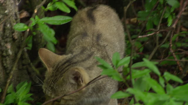 cat hunting bird (national park thayatal - austria) - bird hunting stock videos & royalty-free footage